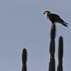 Northen crested caracara (Caracara cheriway) on candle cactus