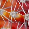 Close-up of candle cactus (Subpilocereus repandus)
