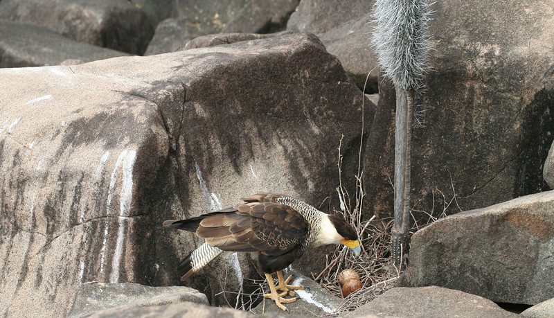 Northern crested caracara (Caracara cheriway) on its nest