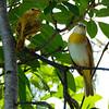 Saffron Finch - Sicalis flaveola