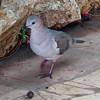 White tipped dove - Leptotila verreauxi