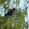 Scaly naped pigeon - Patagioenas squamosa