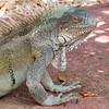 Green iguana - Iguana iguana