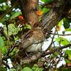 Pearly-eyed Thrasher - Margarops fuscatus bonairensis