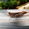 Grasshopper - Unknown species