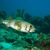 Spot-fin porcupine fish (Diodon hystrix)