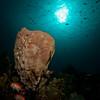 Giant barrel sponge (Xestospongia muta)