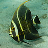 French angelfish (Pomacanthus paru), intermediate