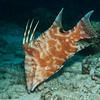 Hogfish (Lachnolaimus maximus), juvenile