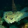 Peacock flounder (Bothus mancus)
