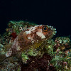 Long-spine porcupinefish (Diodon holocanthus)
