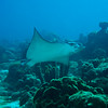 Spotted eagle ray (Aetobatus narinari) swimming on the reef