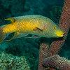 Spanish hogfish (Bodianus rufus)