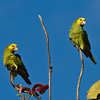 Yellow-shouldered amazons (Amazona barbadensis) resting on branches