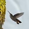 Female ruby-topaz hummingbird (Chrysolampis mosquitus) feeding on aloe flower