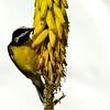 Bananaquit (Coereba flaveola) feeding on aloe flowers