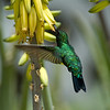 Common or blue-tailed emerald hummingbird (Chlorostilbon mellisugus), male, feeding on aloe flower