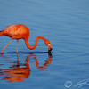 Caribbean Flamingo feeding on the Gotomeer, Bonaire, Dutch Antilles.