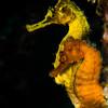 Seahorse Courtship