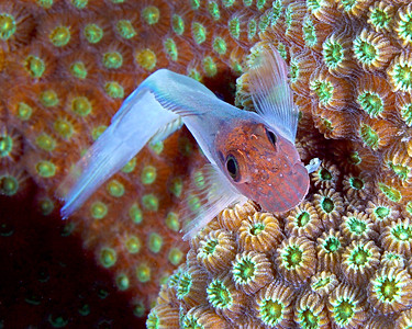 DarkHeaded Blenny