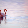 Caribbean Flamingos courting on the Gotomeer, Bonaire, Dutch Antilles.