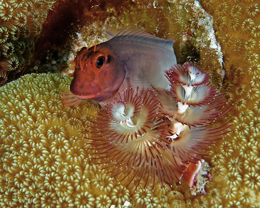 Red Lip Blenny