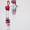 Caribbean Flamingos feeding on the Gotomeer, Bonaire, Dutch Antilles.
