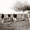 Cows at the Willowbrook Farm, May 1908