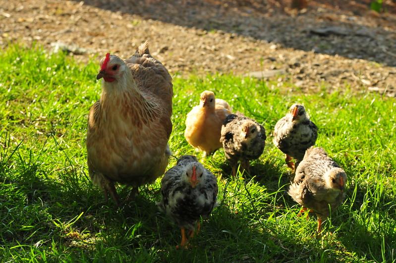 Hønemor med ungane sine