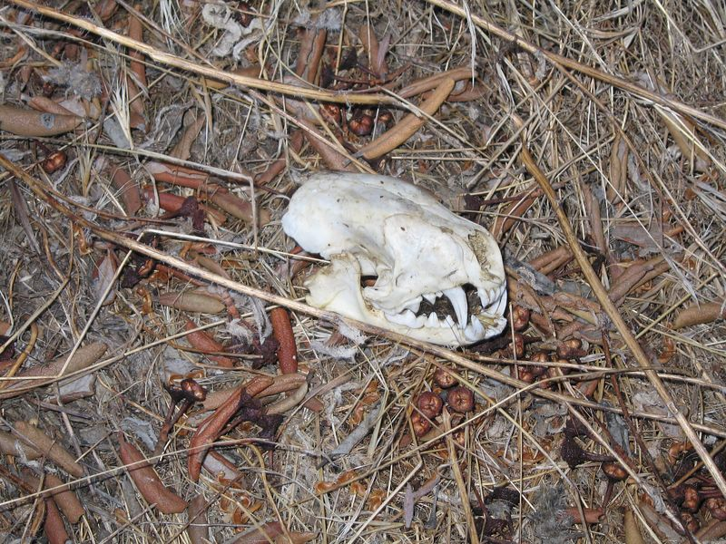Striped skunk skull (Mephitis mephitis), Lakeview Mountains, 28 Aug 2005