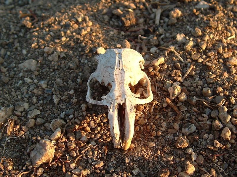 Pocket gopher skull (Thomomys bottae).  Found in yard, under Barn Owl nest.  09 Aug 2004