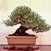 A closeup of the shohin Japanese black pine