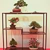A shohin bonsai display
