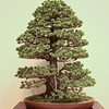 Five-needle pine.<br /> <br /> I can imagine walking through a grove of pine trees in the mountains.