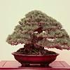 Five-needle pine.
