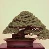 Five-needle pine