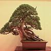 Shimpaku juniper