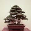 Tosho needle juniper
