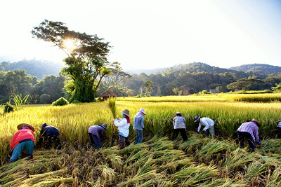 Golden Rice harvest outside of Chiang Mai, Thailand.
