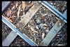 Killdeer eggs on miniature-train tracks, 4/1990. acc2005.001.1325