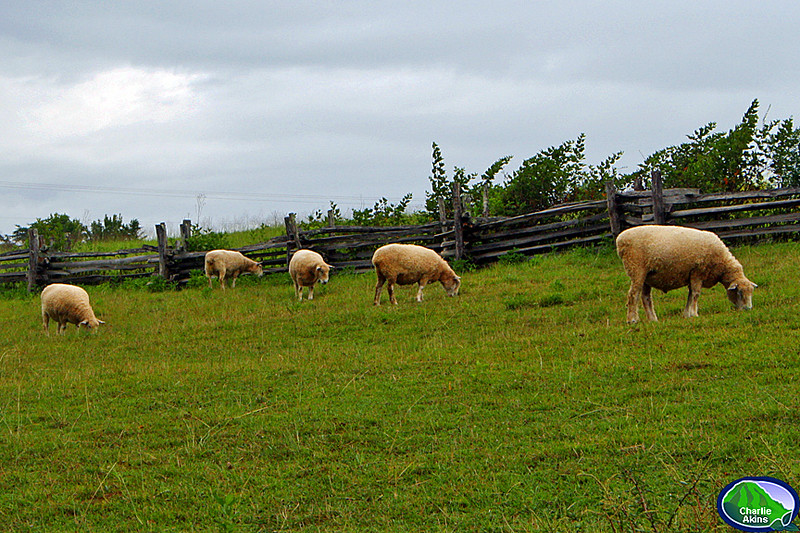 Sheep grazing in the park