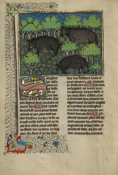 Wild Boars
