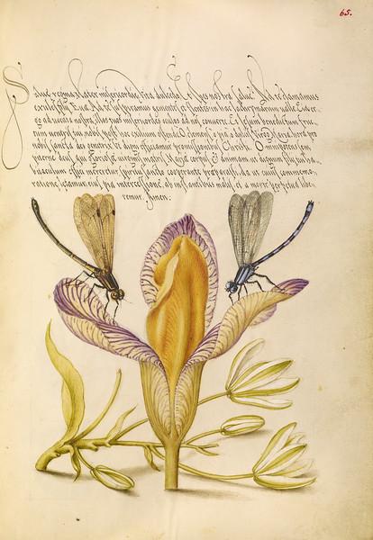 Damselflies, Spanish Iris, and Star-of-Bethlehem