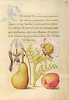 Caterpillar, Dog-Tooth Violet, Pear, and Apricot