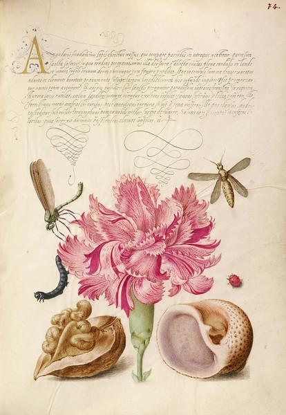 Damselfly, Carnation, Insect, Caterpillar, Ladybird, English Walnut, and Marine Mollusk