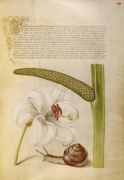 Madonna Lily, Terrestrial Mollusk, and Sweet Flag