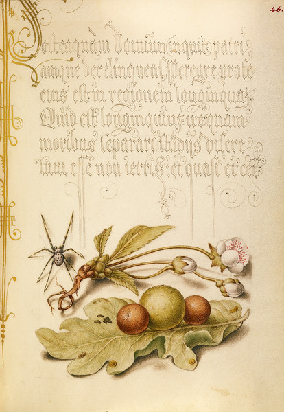 Spider, Sweet Cherry Flower, and English Oak Leaf with Galls