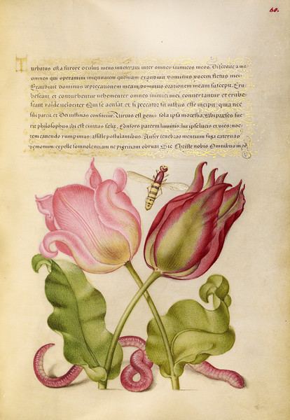 Tulips, Insect, and Worm