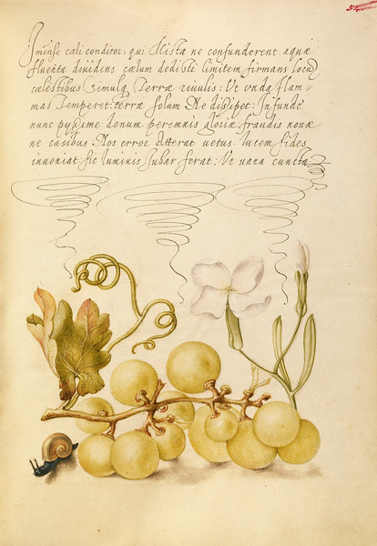 Wine Grape, Gillyflower, and Land Snail