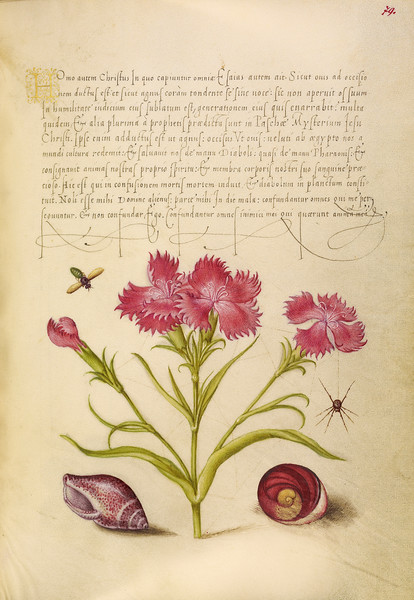 Insect, Sweet William, Spider, Marine Mollusk, and Eye of Santa Lucia